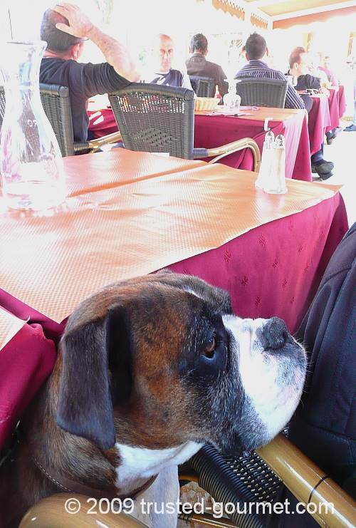 Henri the boxer watching people eating
